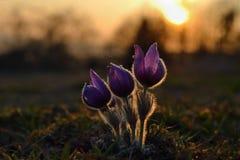 Ressort et printemps Belles fleurs de floraison sur un pré en nature Fleur et soleil de Pasque avec un fond coloré naturel Images libres de droits