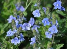 Ressort fleurissant des chamaedrys de Veronica photographie stock libre de droits