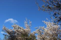 Ressort Fleurs blanches de floraison fleurissantes avec de jeunes feuilles photos libres de droits