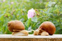 Ressort humide de rose de plan rapproché d'escargots de jardin Photo stock