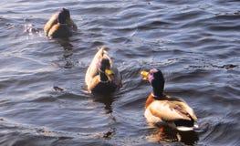 Ressort magnifique de mâle de canards Photographie stock