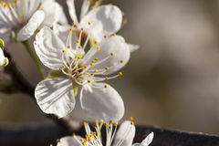 Ressort - nouvelle croissance et fleurs sur un prunier mexicain Photo libre de droits