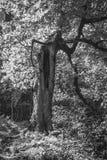Ressort ou paysage d'été avec une traînée de forêt et un vieil arbre étrange avec un jour ensoleillé chaud de cavité, noir et bla photo libre de droits