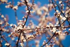 Ressort Pommiers dans la fleur Fleurs de pomme fleurs blanches d'haut étroit de floraison d'arbre Bel abricotier de ressort avec  Images libres de droits