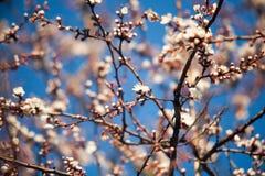 Ressort Pommiers dans la fleur Fleurs de pomme fleurs blanches d'haut étroit de floraison d'arbre Bel abricotier de ressort avec  Photos stock