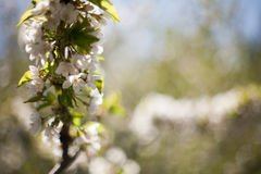 Ressort Pommiers dans la fleur Fleurs de pomme fleurs blanches d'haut étroit de floraison d'arbre Bel abricotier de ressort avec  Photographie stock