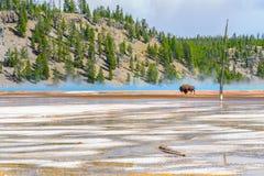 Ressort prismatique grand de croisement de bison en parc national de Yellowstone photos libres de droits