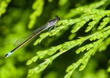 At Rest. A blue tailed damselfly sits on a fir tree leaf royalty free stock photo