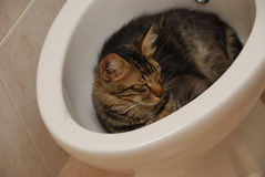On the rest. Funny cat having a rest in a bidet Royalty Free Stock Photography