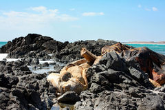 Rest av död Whale#2: Masirah ö, Oman Arkivbild