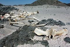 Rest av död Whale#1: Masirah ö, Oman Royaltyfri Fotografi