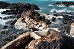 Rest av död Whale#5: Masirah ö, Oman Arkivbilder
