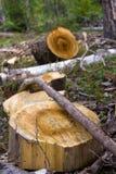 Rest av den avverkade treen Fotografering för Bildbyråer