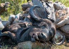 Rest av ett buffelkadaver Arkivfoton