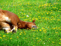 Rest of brown horse. In the green meadow Stock Images