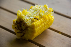 The rest of the corn from eating. Royalty Free Stock Images