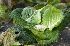 Rest des Wirsings in einem Gemüsegarten Lizenzfreies Stockfoto