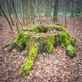 Rest eines Baums von einer alten Eiche Lizenzfreies Stockbild
