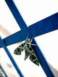 rest för fjärilsmalnatt Royaltyfri Foto