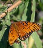 rest för växt för fjärilsleafmonark arkivbild