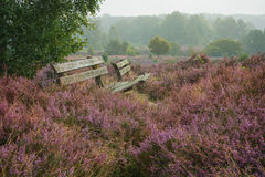 Rest among heather. Autumn, foggy morning in the national park the Veluwe, Netherlands Royalty Free Stock Photos