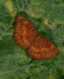 Common Caster. Rest of leaf common caster Ariadne Merione Delhi stock images