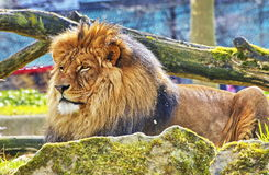 Rest Lion Portrait in Sunny day Royalty Free Stock Image