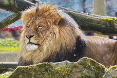 Rest Lion Portrait in Sunny day. Young lion resting on a sunny day Royalty Free Stock Images
