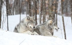 Rest in nature during winter. Two wolfs sleeping in nature during winter Royalty Free Stock Image