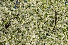 Rest place with apple tree in full blossom. In Altai spring Royalty Free Stock Photo