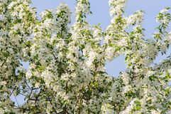 Rest place with apple tree in full blossom. In Altai spring Royalty Free Stock Photos