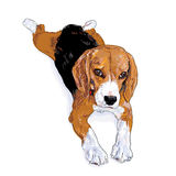 The rest time of beagle. After playing she have to rest for a while Royalty Free Stock Photo