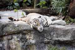 Rest white Indian tiger Royalty Free Stock Photography