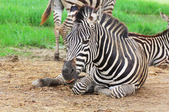 Rest of zebra Stock Photo