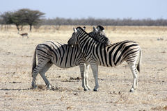 The rest of zebras Stock Photos