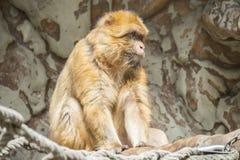 Restare del macaco di Barbary calmano ed osservare molto attentamente qualcosa Fotografia Stock Libera da Diritti