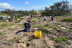 Restauração da duna em Gold Coast Queensland Austrália Foto de Stock Royalty Free