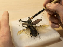 Restavration del escarabajo de macho del cervus de Lucanus enderezado hacia fuera fotografía de archivo libre de regalías