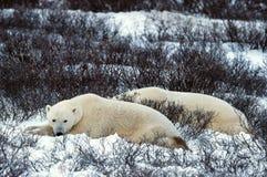 Reste d'ours blancs. photos stock