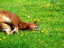 Reste de cheval brun Images stock