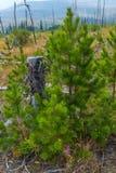 Reste und Wiederbelebung von St Mary u. von x27; s Forest Fire nahe Glacier Nationalpark Lizenzfreies Stockfoto