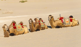 Rested camels Stock Photo