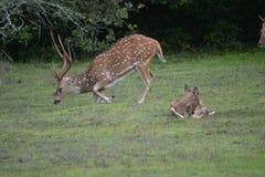 Rester des cerfs communs au Sri Lanka CMA et jeune vache photos stock