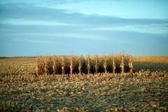 Resterande oklippt majs i mitten av ett fält arkivfoto