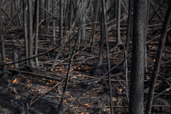 Restes de forêt épaisse après le feu Photo libre de droits