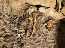 Restes des os et du squelette de poissons images libres de droits