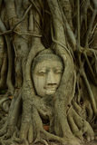 Restes des statues de Bouddha la tête dans l'arbre Wat Mahathat Images stock