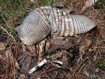 Restes du tatou Neuf-réuni (Dasypus Novemcinctus) se trouvant sur la terre Photographie stock