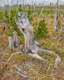 Restes et revitalisation de St Mary et de x27 ; s Forest Fire près de parc national de glacier Image libre de droits