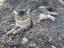 Restful кот тигра стоковое фото rf
